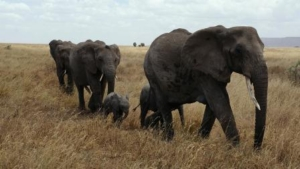 elephant-687338_1280